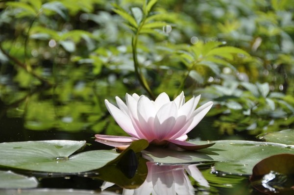 water-lily-338144_640